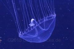 Hydrozoa-Qualle_nah