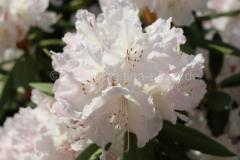 weiße rohododendron
