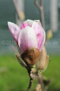 Magnolie blühte