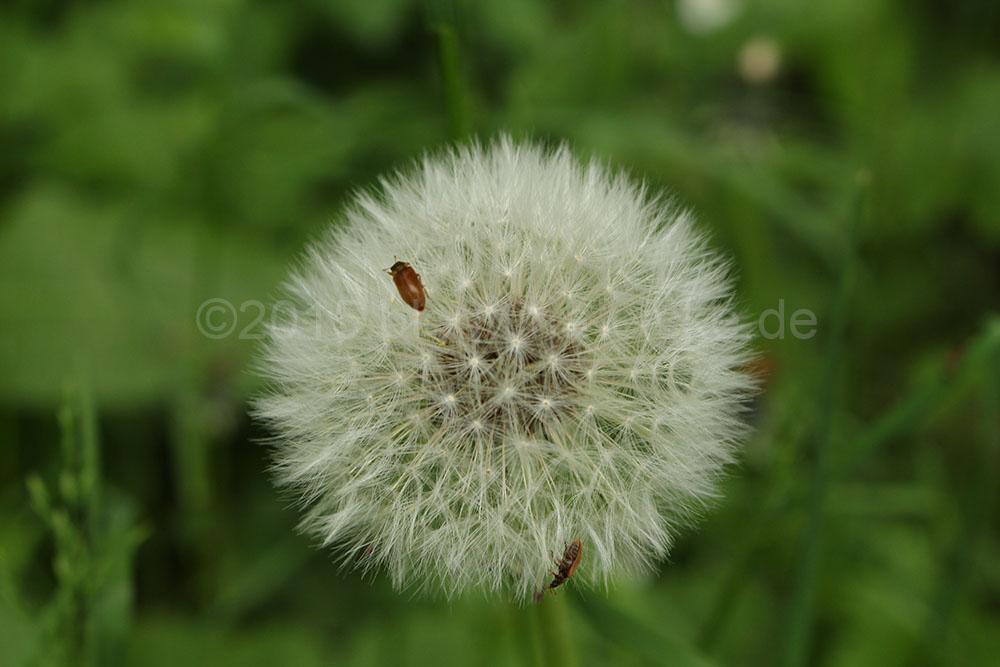 Pusteblume und Käfer