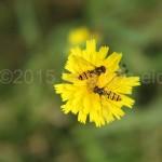 schwebefliege gelbe blume