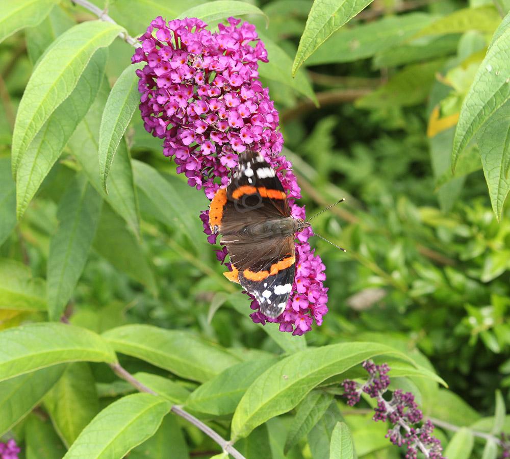 Schmetterling_Bewegungsunschärfe