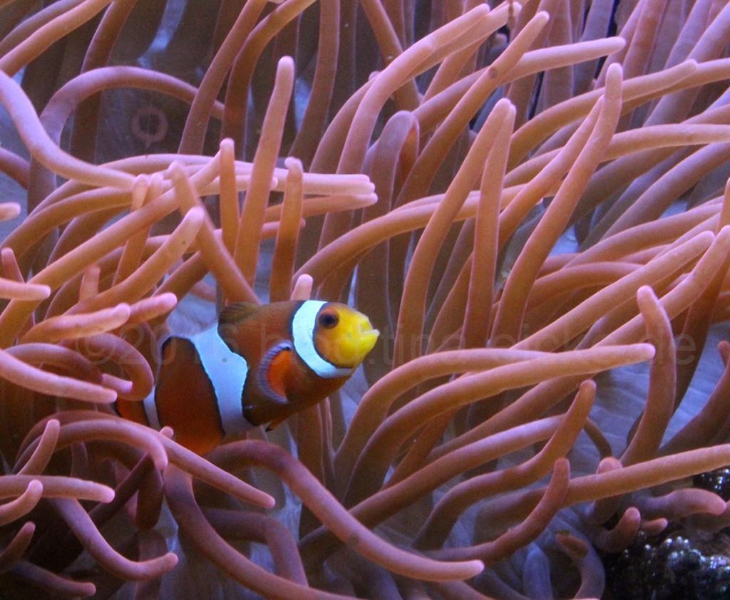 Anemone & Clownfisch
