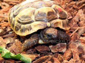 Babyschildkröte (83)