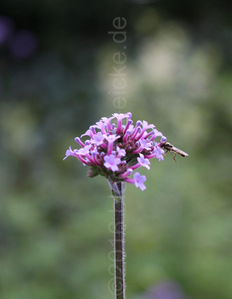 Schwebefliege auf kleinen Blüten