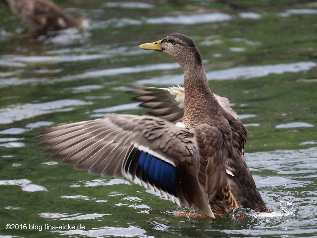 Ente beim Flüge trocknen