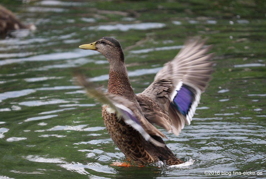 Ente beim Flüge trocknen2