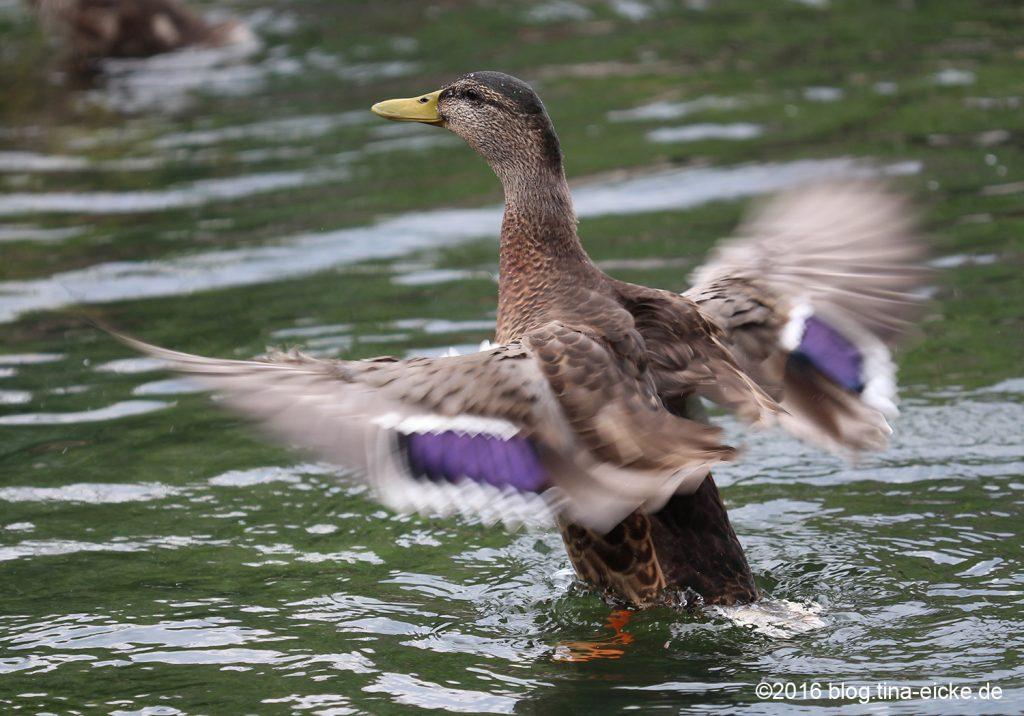 Ente beim Flüge trocknen3