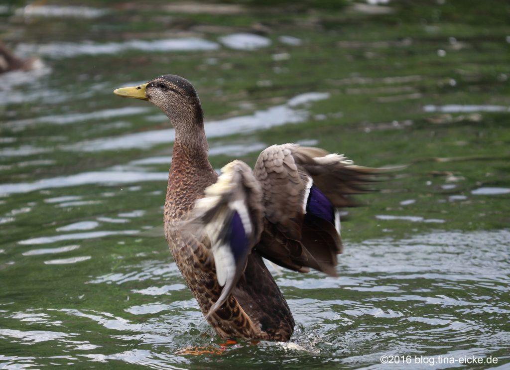 Ente beim Flüge trocknen4
