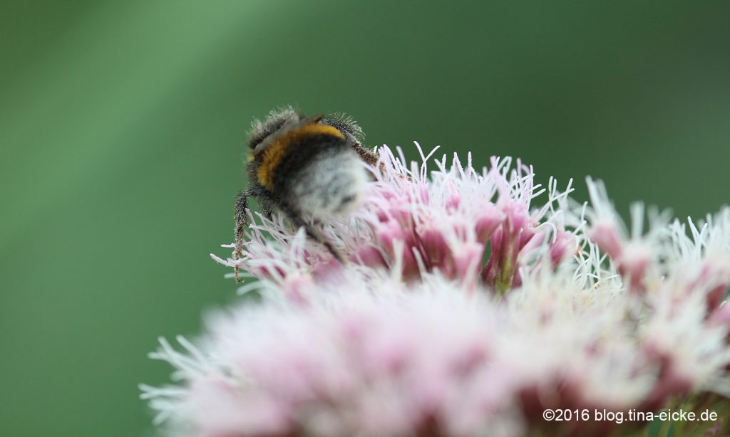 Hummel_Pollen