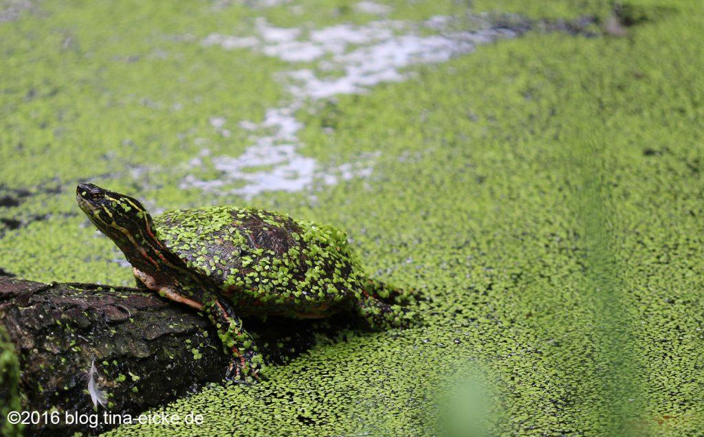 Schildkröte_entengrütze