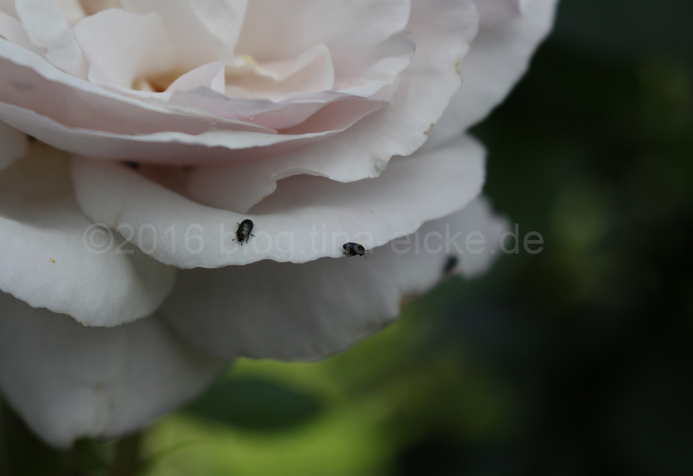 weiße Rose_Käfer